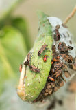 Insect attacking Aphids Stock Image