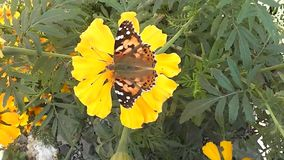 Insect beautiful butterfly eats on yellow flower. Yellow beautiful flower and insect butterfly collects nectar stock video footage
