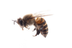 Insect bee Royalty Free Stock Photography