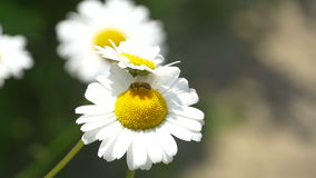 Insect Bee on a Camomile Flower. Insect Bee macro: Sweat bee genus Lasioglossum sits on flower daisy stock video