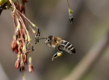 Insect, Bee, Honey Bee, Membrane Winged Insect Royalty Free Stock Photos