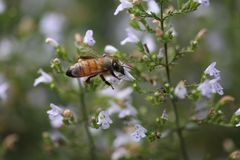Insect, Bee, Honey Bee, Membrane Winged Insect stock images