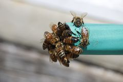 Insect, Bee, Honey Bee, Membrane Winged Insect Stock Photo