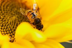 Insect bee pollinates agricultural sunflower on a natural blurred background. royalty free stock photography