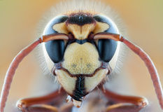Insect Bee Wasp Wild Fly Nature Macro Hornet Stock Photo