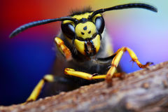 Insect bee wasp wild fly nature macro hornet Stock Photos