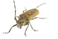 Insect beetle Stock Photography