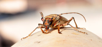 Insect beetle Stock Images