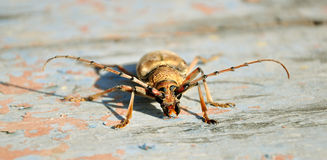 Insect beetle. A insect long-horned beetle on stone Royalty Free Stock Images