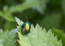 Insect beetle Stock Image