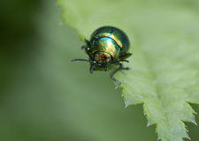 Insect beetle Royalty Free Stock Photography