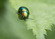 Insect beetle Royalty Free Stock Photo
