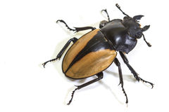 Insect, beetle, bug, in genus Odontolabis Royalty Free Stock Images