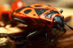 Insect beetle. Insect close-up on a green plant. Beautiful eyes of an insect royalty free stock photography