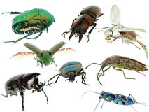Insect beetle collection set Royalty Free Stock Images