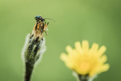 Insect beetle on inflorescence flower Stock Photography