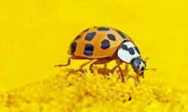 Insect, Beetle, Invertebrate, Ladybird Royalty Free Stock Image