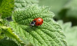 Insect, Beetle, Ladybird, Macro Photography Royalty Free Stock Images