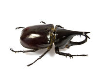 Insect, beetle, rhino beetle bug Royalty Free Stock Photography