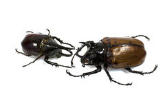 Insect, beetle, rhino beetle bug Royalty Free Stock Image