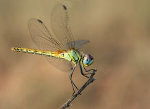 Insect big eyes Royalty Free Stock Images