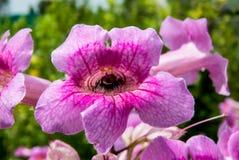 Insect binnen van roze bloem-India Stock Foto