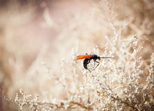 Insect with bright orange wings Stock Images