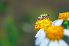 Insect,bug on a Flower. Royalty Free Stock Photos
