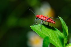 Insect,bug on leaves with morning dew blur. Royalty Free Stock Photo