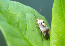 Insect bug Lygus pratensis Stock Image