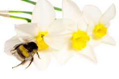 An insect is a bumble-bee. Bumble-bee on white flowers narcissus stock photos