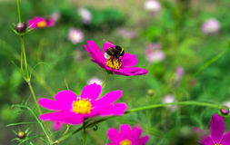 Insect bumble bee pollinates a beautiful pink flower Royalty Free Stock Image