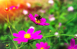 Insect bumble bee pollinates l pink flower at sunset. Royalty Free Stock Photo