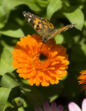Insect Butterfly Feeding Orange Garden Flower Royalty Free Stock Photo