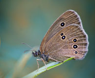 Insect butterfly on a grass blade Stock Images