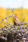 Insect butterfly hive. Butterfly hives in lavender bouquet stock photo