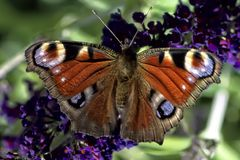 Insect, Butterfly, Macro, Garden Royalty Free Stock Image