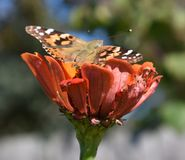 Insect, Butterfly, Moths And Butterflies, Flower