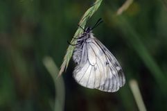 Insect, Butterfly, Moths And Butterflies, Invertebrate Royalty Free Stock Image