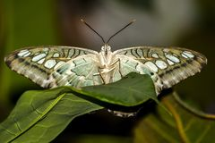 Insect, Butterfly, Moths And Butterflies, Invertebrate royalty free stock photos