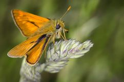 Insect, Butterfly, Moths And Butterflies, Moth Royalty Free Stock Photography