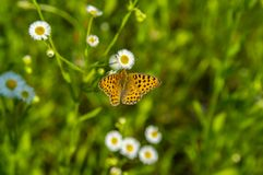 Insect butterfly on white daisy flowers stock photos