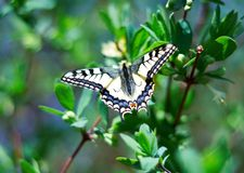 Insect butterfly with wings Royalty Free Stock Photo