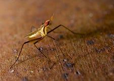 Insect cactusfly macro shot. On borwn background Stock Images