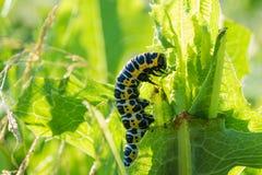Insect caterpillar Royalty Free Stock Photos