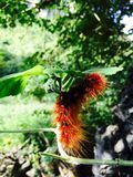 Insect. A caterpillar is eating leaves Stock Photo