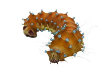 Insect caterpillar isolated on white background, Royalty Free Stock Images