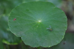 Insect on centella asiatica leaf Royalty Free Stock Image