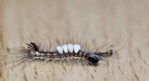 Insect - Centipede Royalty Free Stock Photo