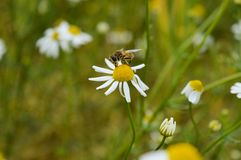 Insect on chamomile Stock Photography